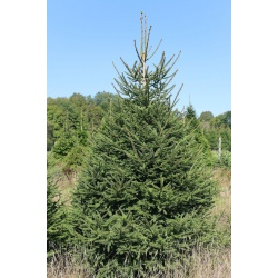 oxenford_farm_norway_spruce